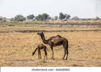 Camel with Cub at Ahmedabad, Gujarat, India.