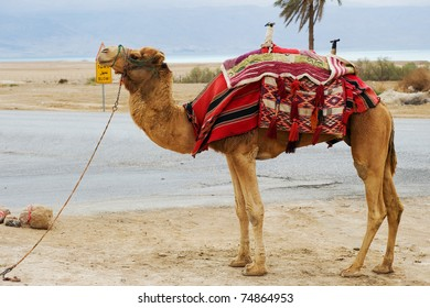 A camel at the Dead Sea