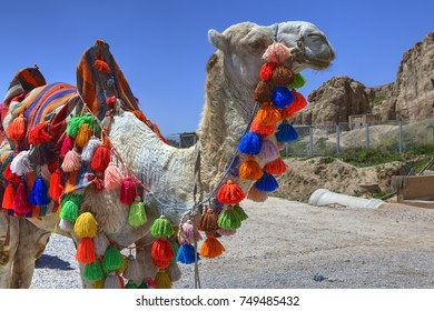 Camel decorated in colourful blanket and tassels, Shiraz, Iran.