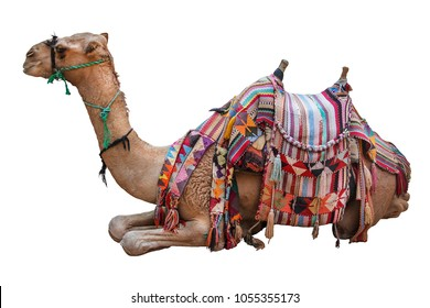 Camel, decorated with saddle, rest after trips with tourists. Isolated on white.