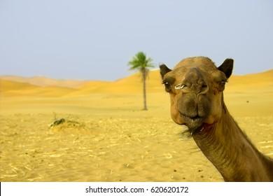 Camel in the desert