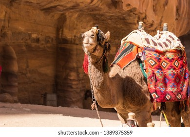camel desert animal portrait on a leash looking at camera in famous Egyptian sightseeing place for tourist