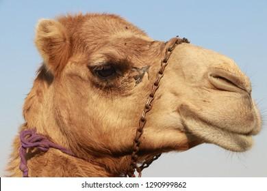 Camel in the desert of Bahrein.