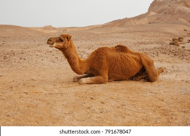 Camel in desert in Israel, Negev