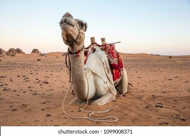camel in a desert near Meroe pyramids in Sudan