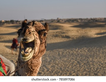 A camel at desert. (Rajasthan- India)