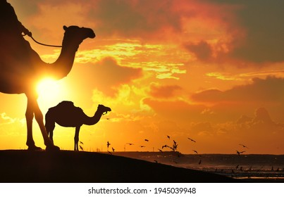 Camel in Desert sunset cloudy sky