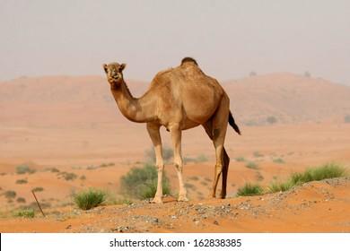 Camel in the Desert, United ARab Emirates