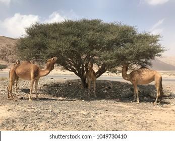Camel in the desert of Wadi Bia, Ras Al Khaimah, UAE