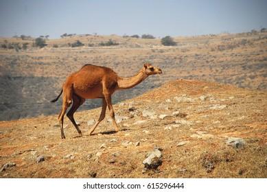 Camel in Dhofar province. South Oman. Arabian Peninsula