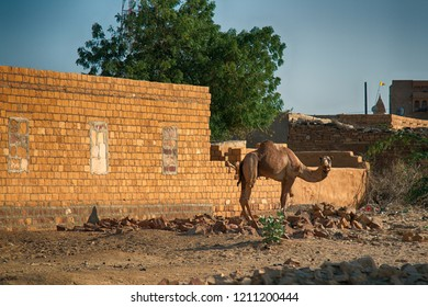 Camel dromedary (Camelus dromedarius) on the background of the brick wall of the caravanserai. The Great Indian desert, Thar