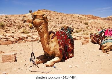 Camel dromedary in Petra, Jordan desert.