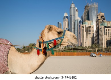 Camel and Dubai skyscrapers background. Camel and urban skyline. Dubai Marina skyscrapers. United Arab Emirates. Dubai beach. Dubai icons.