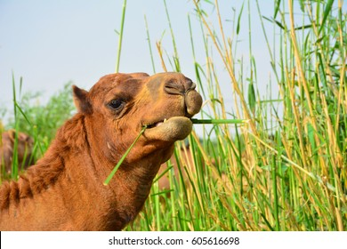 Camel eating grass closeup shot