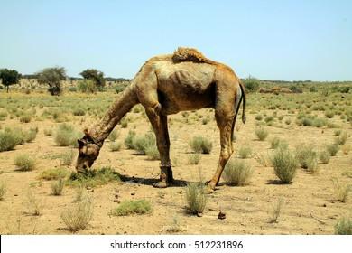 Camel eating grass in the indian desert