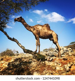 Camel eating leaves from tree in Salalah Oman