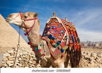 Camel in Egypt, on background Pyramid