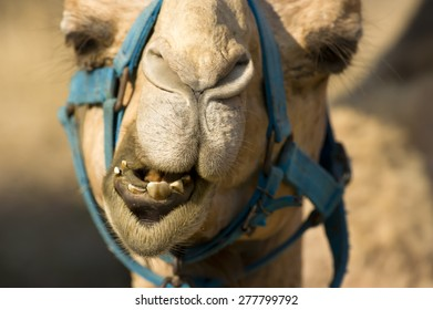 Camel face closeup with teeth, nose and eyes.