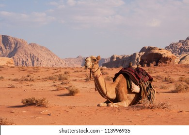 A camel in the famous desert of Wadi Rum, Jordan
