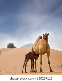 a camel feeding baby Camels in United Arab Emirates desert sand dunes desert, ,  concept for wildlife, holiday, environment advertorial ads.