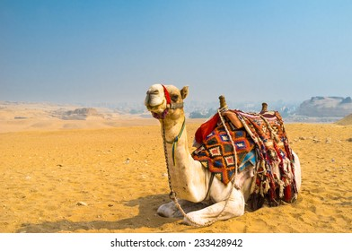 The camel feels great in desert, despite the heat, Giza, Egypt.