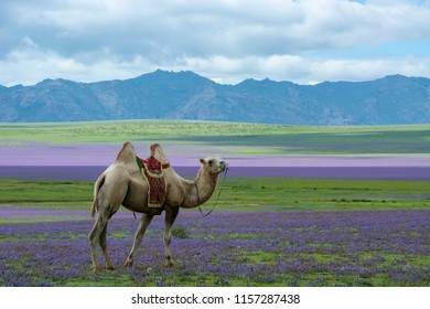 camel in the flowers mini gobi in Mongolia