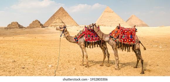 Kamel vor den Pyramiden in Gizeh, Ägypten.