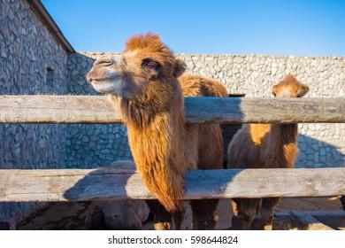 The camel in the Gala museum, Azerbaijan