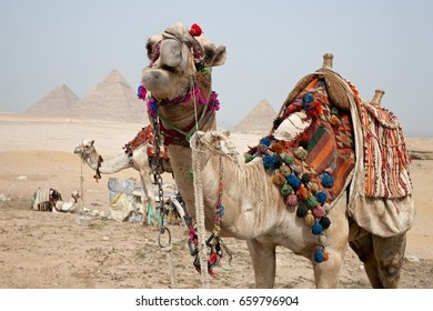 Camel in Giza Great Pyramids. Egypt