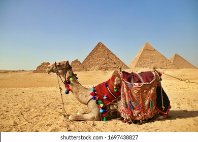 Camel with Giza Pyramid 7 wonders