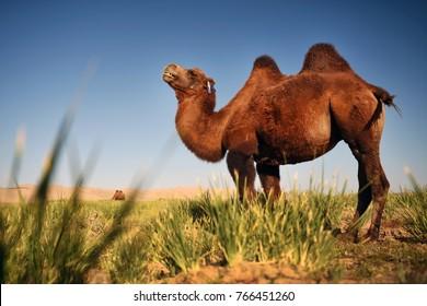 Camel in Gobi desert, Mongolia