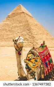 CAMEL AT GREAT PYRAMIDS IN EGYYPT - Nice portrait of camel lying down as it rests in the desert outside the Great Pyramid of Giza, and Giza Pyramid Complex. Camel riding tourist adventure. Giza, Cairo