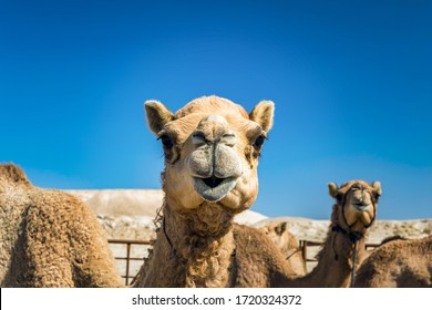 Camel Head Closeup Portrait in Desert.