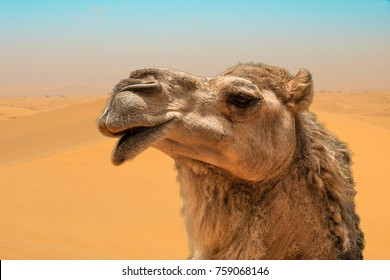 Camel head closeup portrait in windy sand dunes desert of Dubai