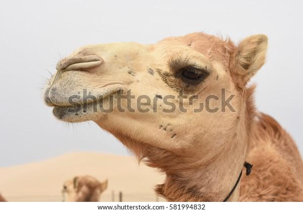 Camel head in profile