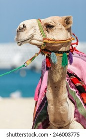 Camel head shot in Dubai Jumeira Beach. Camel riding is very popular in winter and cold weathers in Dubai.