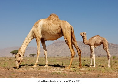 A camel with her calf in Wadi Sumayni, Oman.