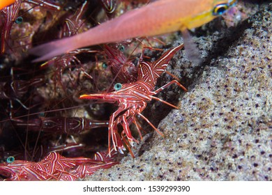 Camel hinge-beak shrimp or Dancing shrimp (Rhynchocinetes durbanensis) on the reef. Transparent body with red and white lines.