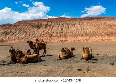 camel in Inner-Mongolia, China
