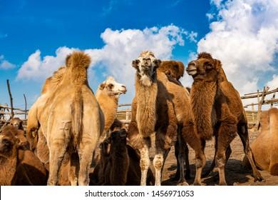 camel in Inner-Mongolia under blue sky, China