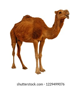 Camel isolated on the white background