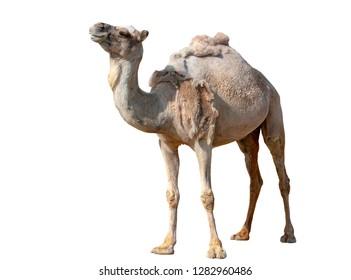Camel isolated on white background