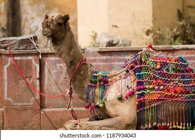 camel in jaipur india