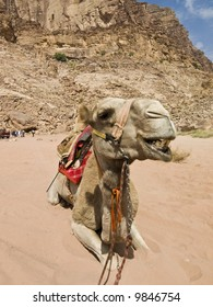 Camel in Jordan desert Wadi Rum - Angry face