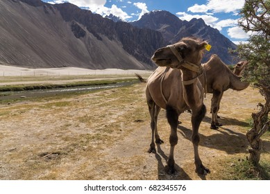 Camel with landscape in Nubra valley, Ladakh, India