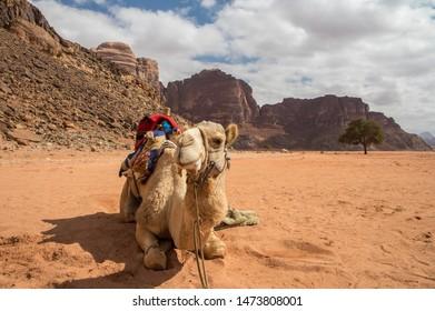 Camel and Lawrence spring in the desert of Wadi Rum Jordan