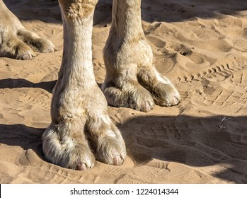 Camel legs close-up on sand background