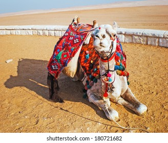 Camel lie on the sand in Cairo, Egypt