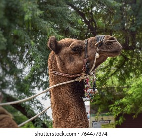 A camel looking.