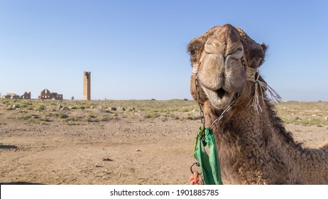 Camel looking to the camera with a smiley face